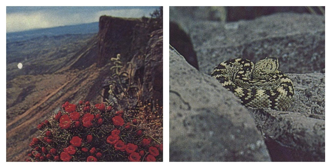 Beauty and best: cactus in bloom is strangely at home on rugged landscape.