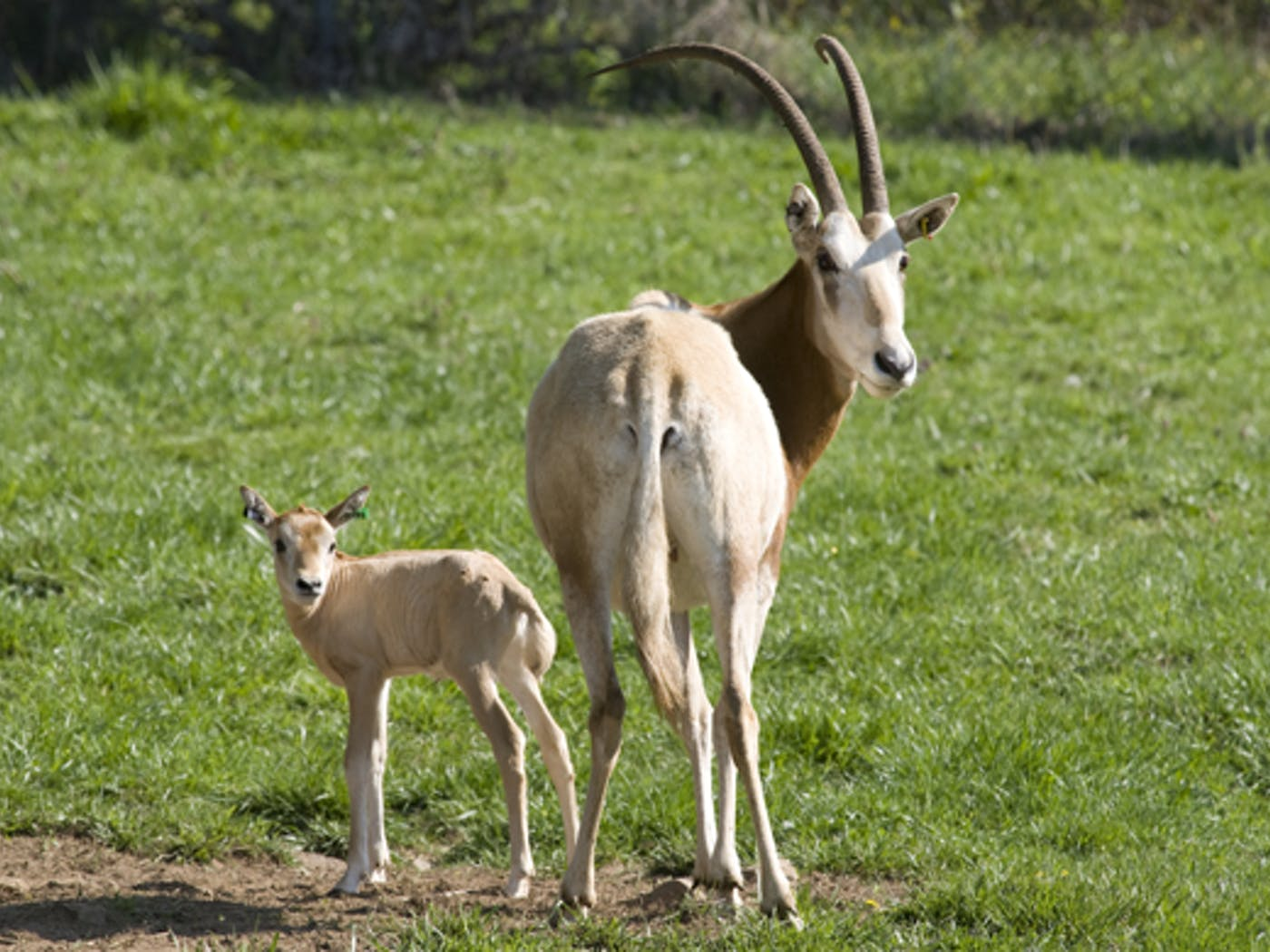 The End Of Hunting For Exotic Endangered Antelopes Texas Monthly