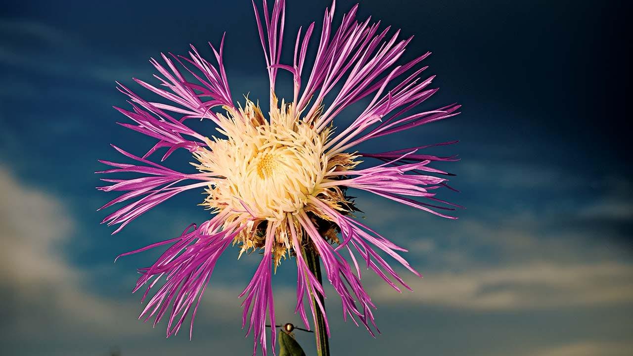 A basket flower.