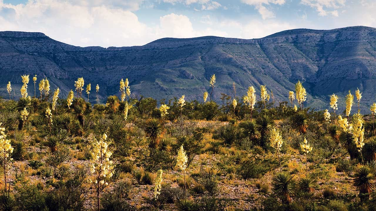 Yucca near Persimmon Gap, in Big Bend National Park.