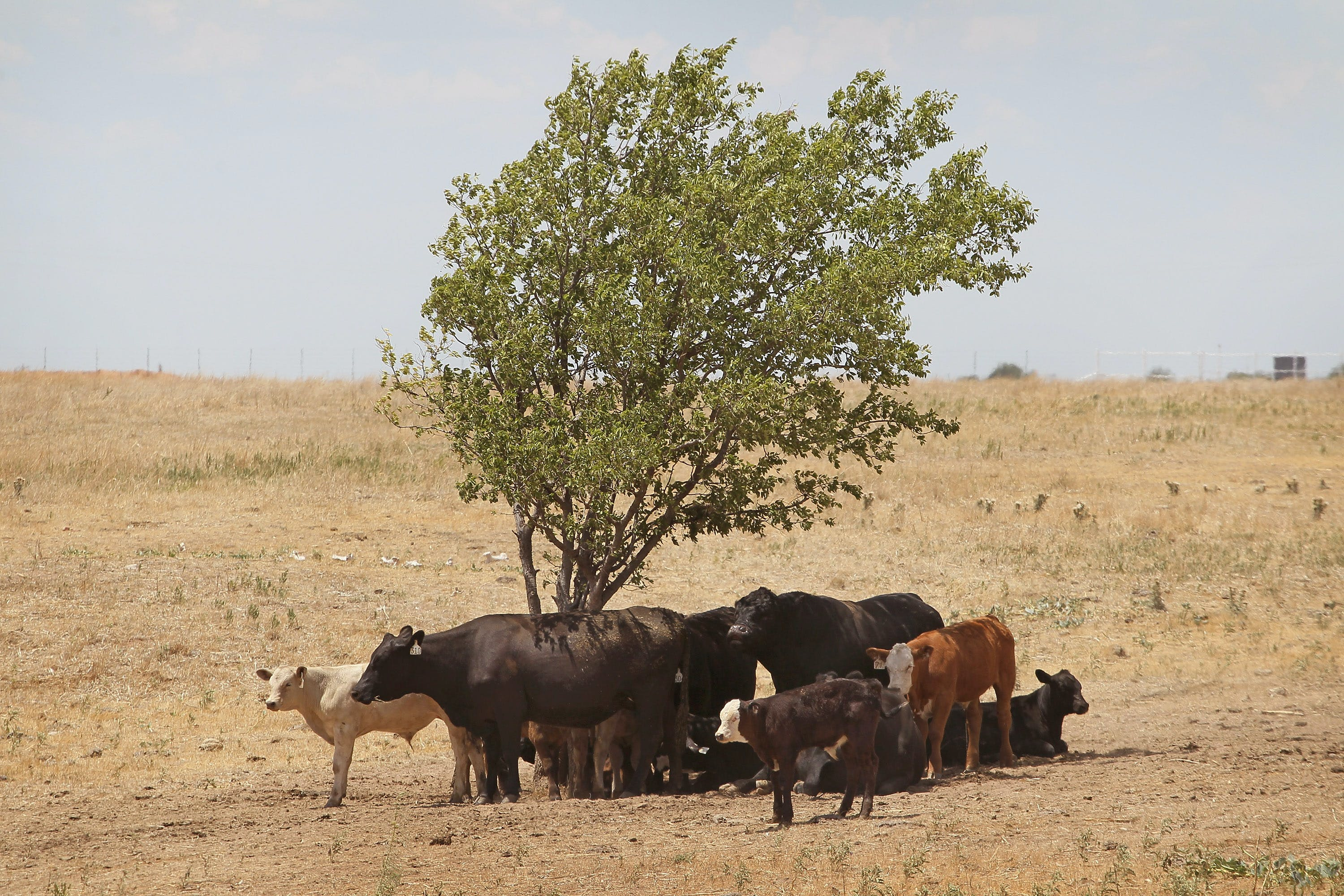 CANADIAN, TX - JULY 28: Cattle use a tree for shade as temperatures rose above 100 degrees in a pasture July 28, 2011 near Canadian, Texas. A severe drought has caused shortages of grass, hay and water, in much of the state, forcing ranchers to thin their herds or risk losing their cattle to the drought. The past nine months have been the driest in Texas since record keeping began in 1895, with 75% of the state classified as exceptional drought, the worst level. (Photo by Scott Olson/Getty Images)