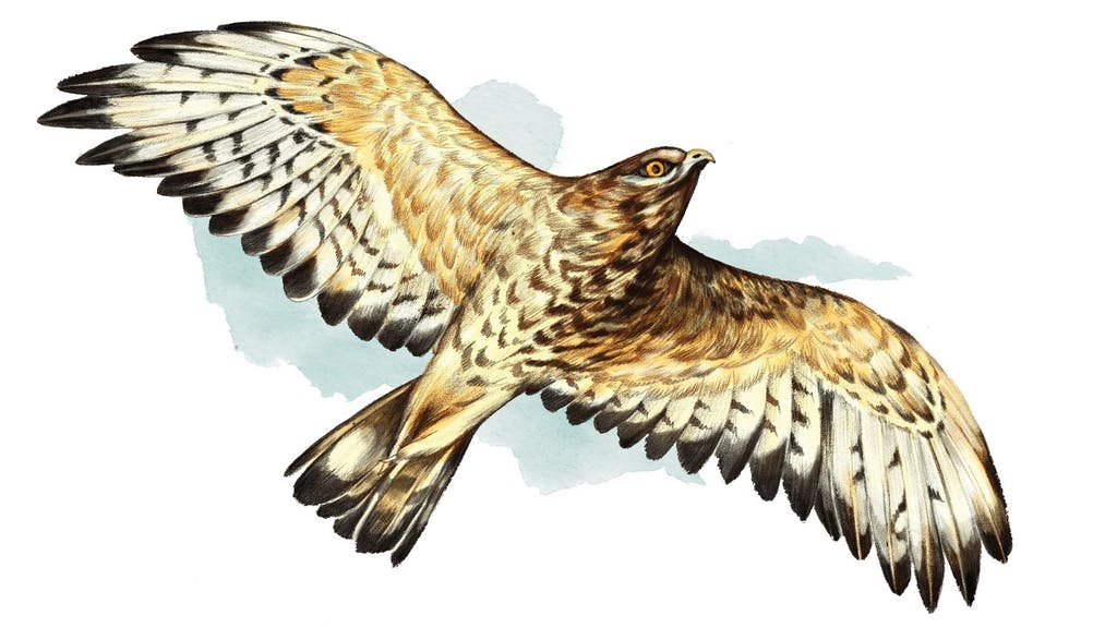 feature-migration-borad-winged-hawk-buteo-platypterus-dan-oko-lisel-ashlock-illustration-2