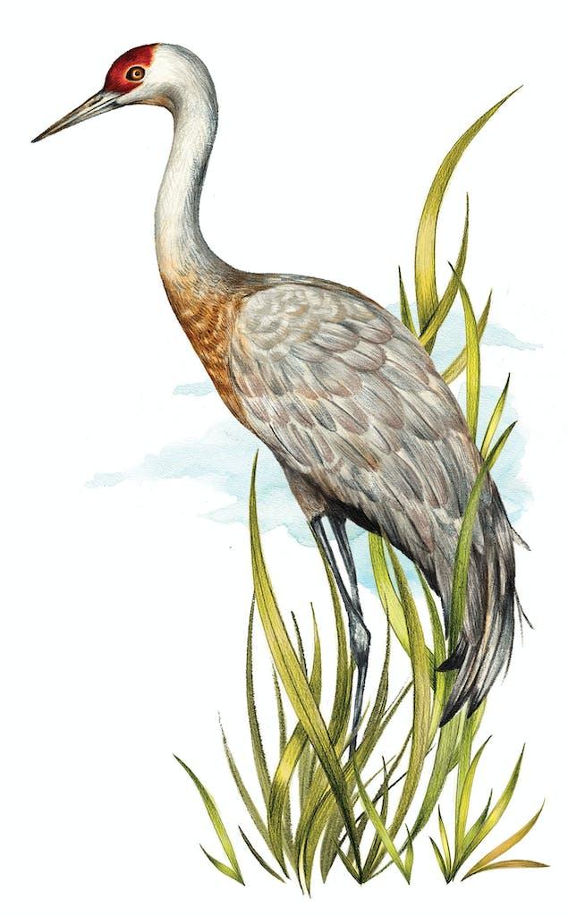 feature-migration-grus-canadensis-sanhill-cranes-dan-oko-lisel-ashlock-illustration-full-height