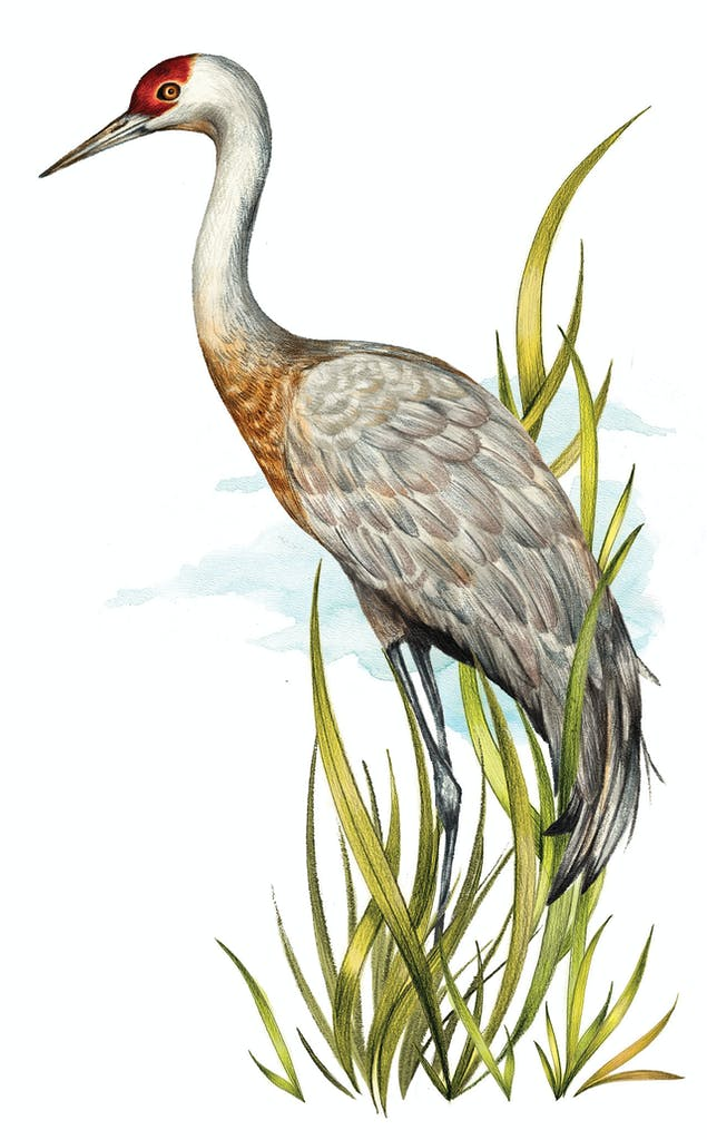 feature-migration-grus-canadensis-sanhill-cranes-dan-oko-lisel-ashlock-illustration-full-height