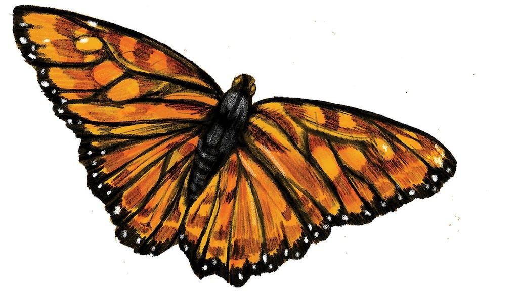 feature-migration-monarch-butterfly-2-butterflies-dan-oko-lisel-ashlock-illustration