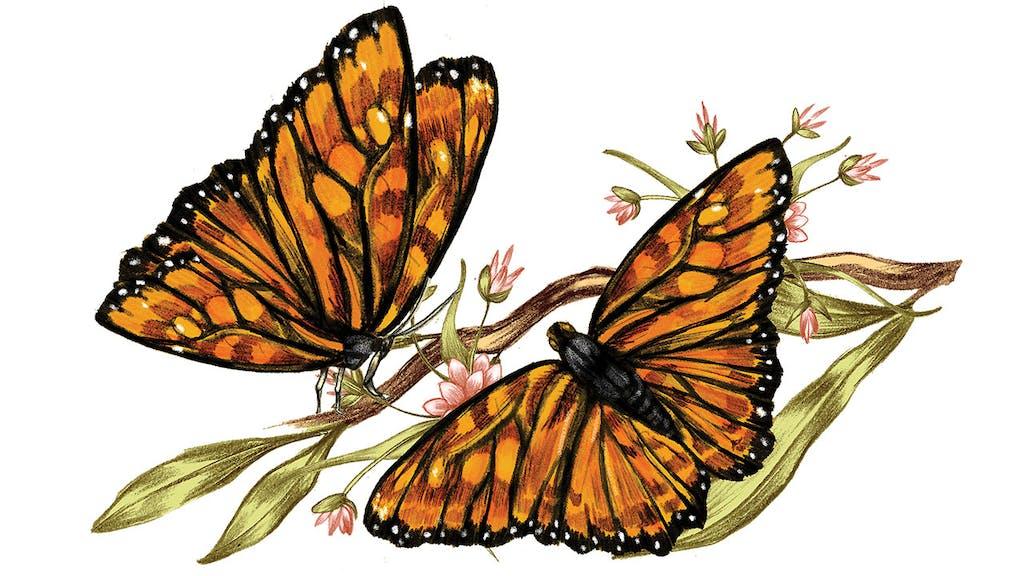 feature-migration-monarch-butterfly-butterflies-dan-oko-lisel-ashlock-illustration