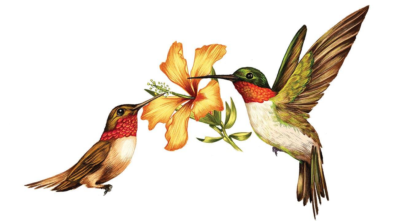 feature-migration-rufous-ruby-throated-hummingbird-dan-oko-lisel-ashlock-illustration