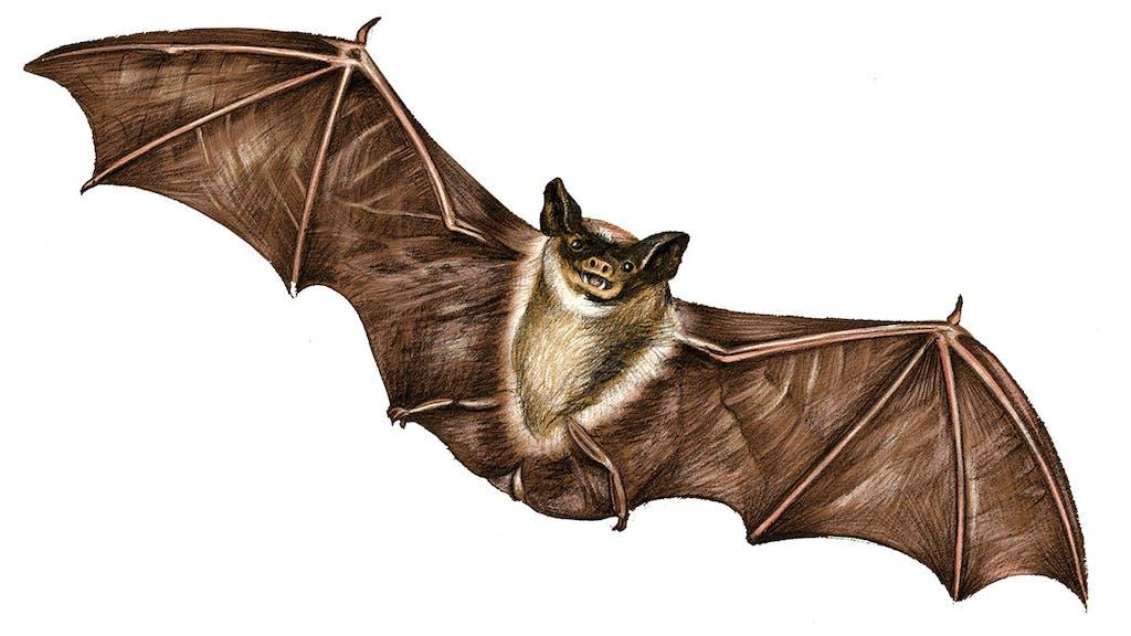feature-migration-tadarida-brasiliensis-mexican-free-tailed-bat-dan-oko-lisel-ashlock-illustration