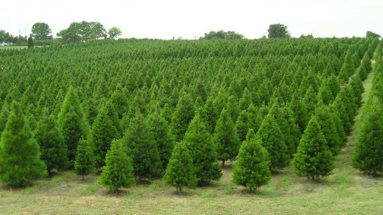 The Elgin Christmas Tree Farm.