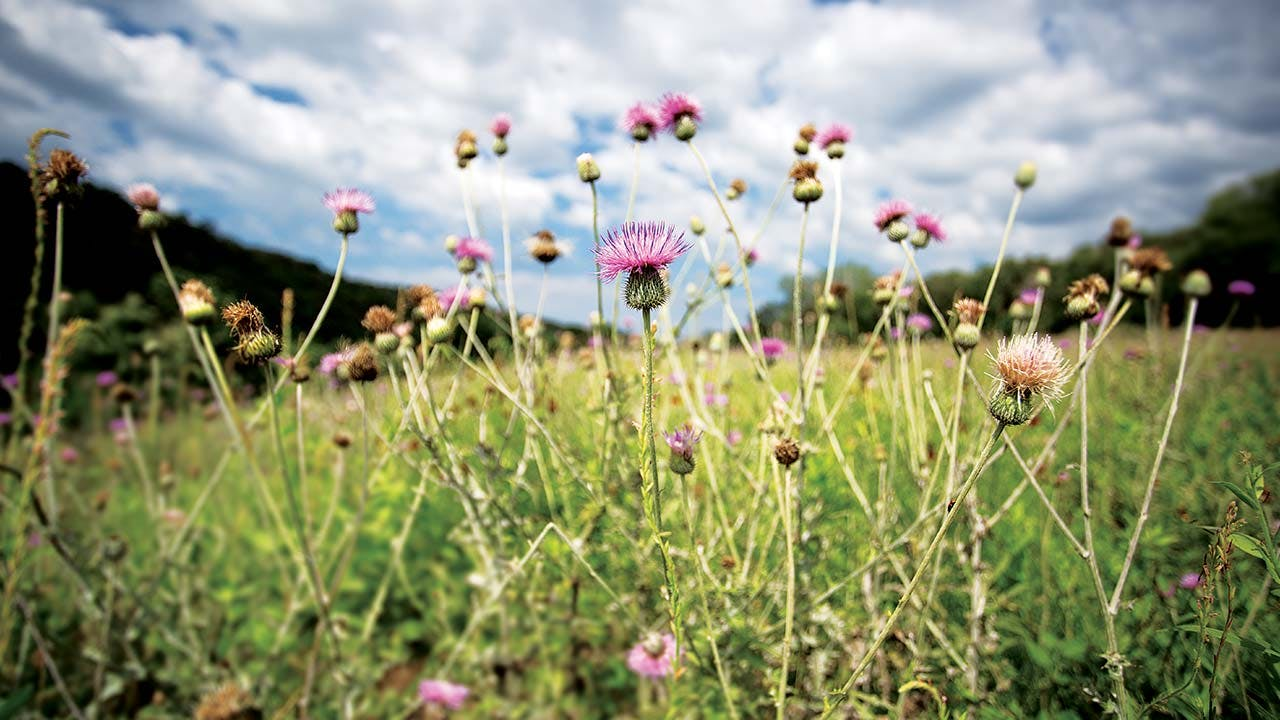 Some Texas thistle, which grows on the ranch.