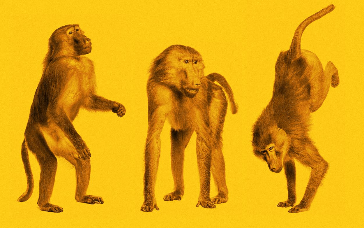 san antonio baboons