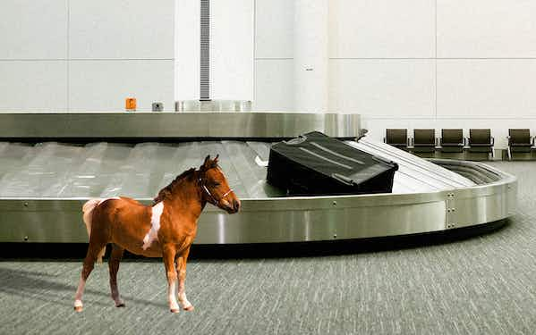 a miniature horse at the airport