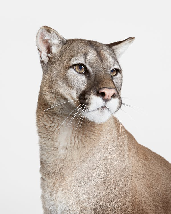 Dexter the mountain lion, photographed by Ford in studio.