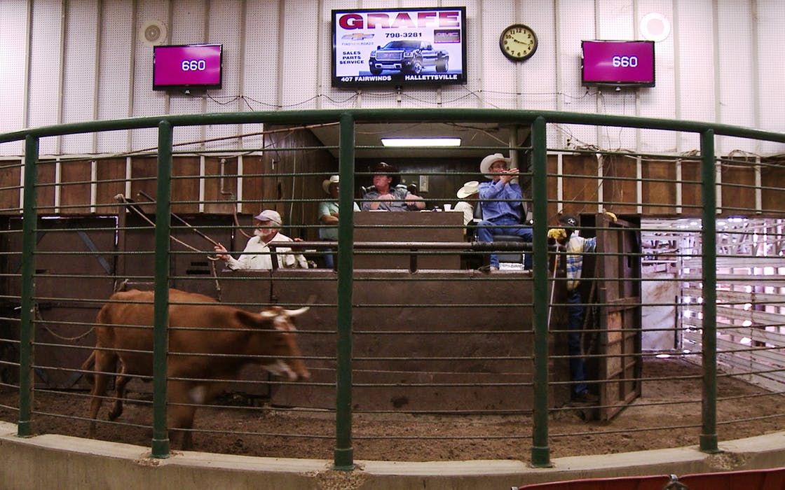 A small-town cattle auction in Gonzales