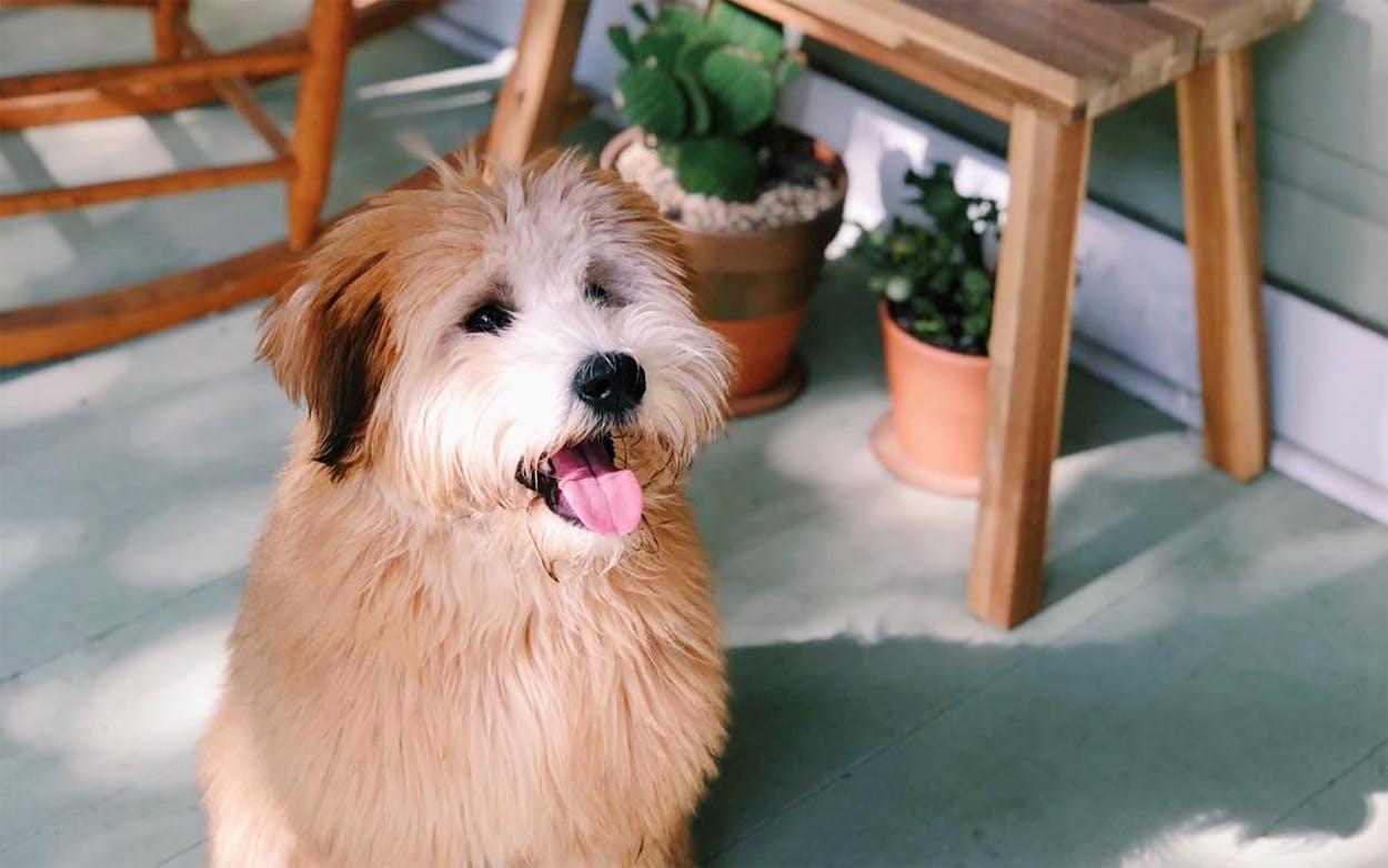 Winnie, the dog of Sara and Nick Moore of Houston, Texas.