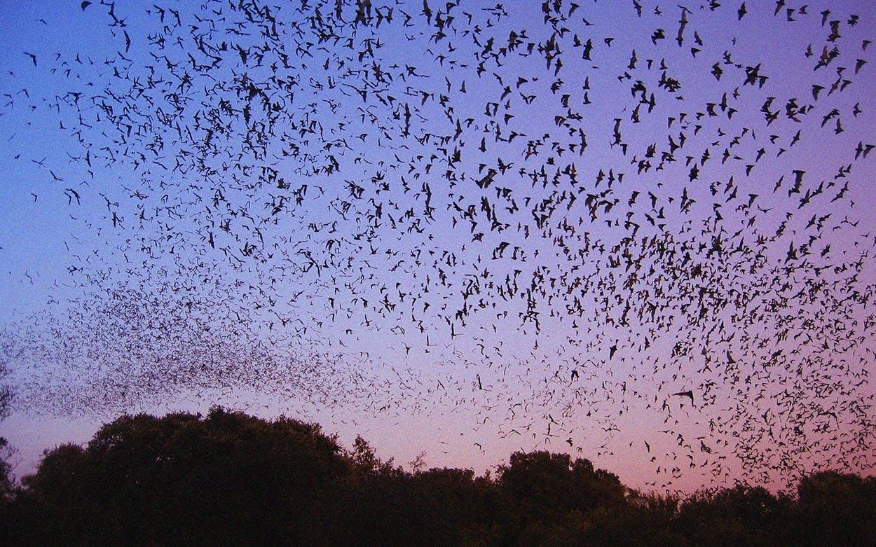 Texas bats in San Antonio