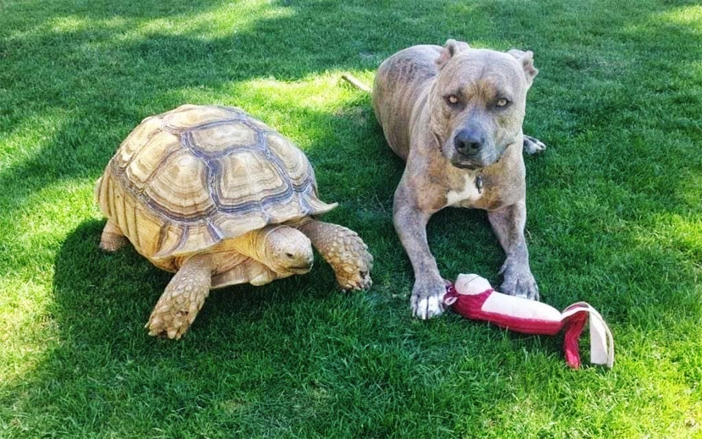 Somebody Help This North Texas Family Find Their Giant Tortoise