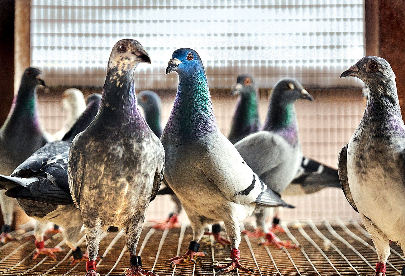 Homing pigeons inside their loft.