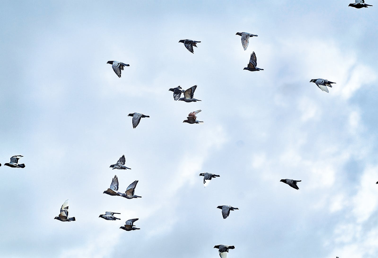 Homing pigeons flying