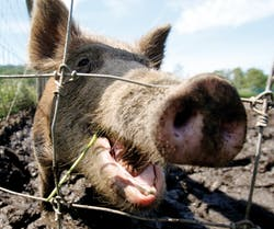 A feral hog stands in a holding pen at Easton View Outfitters in Valley Falls, NY on August 24, 2011.