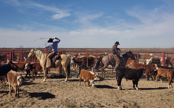boomtown cattle drive