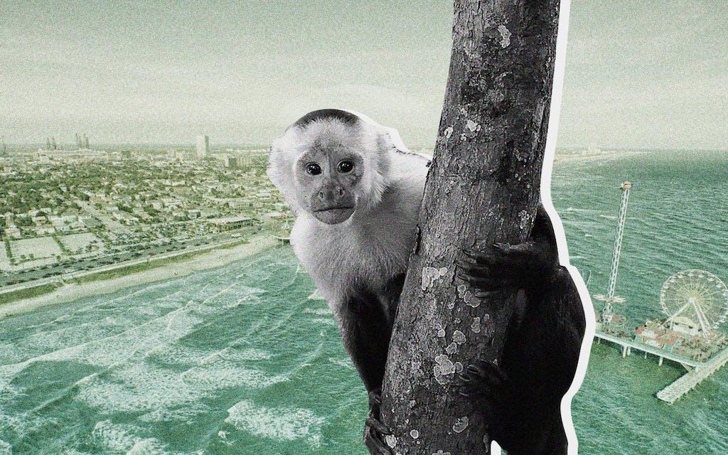 The Galveston Monkey Saga Is the Weirdest Story of 2020 Thus Far