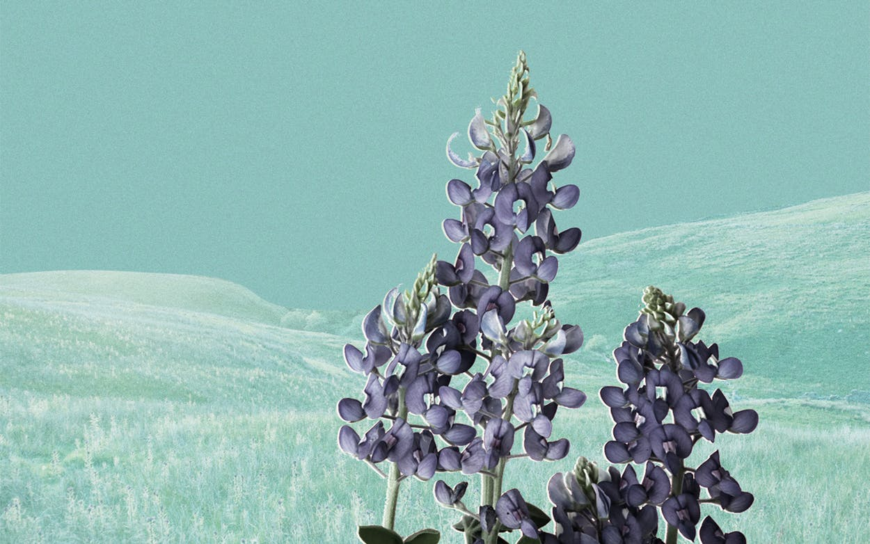 planting-blue-bonnets-houston-poet