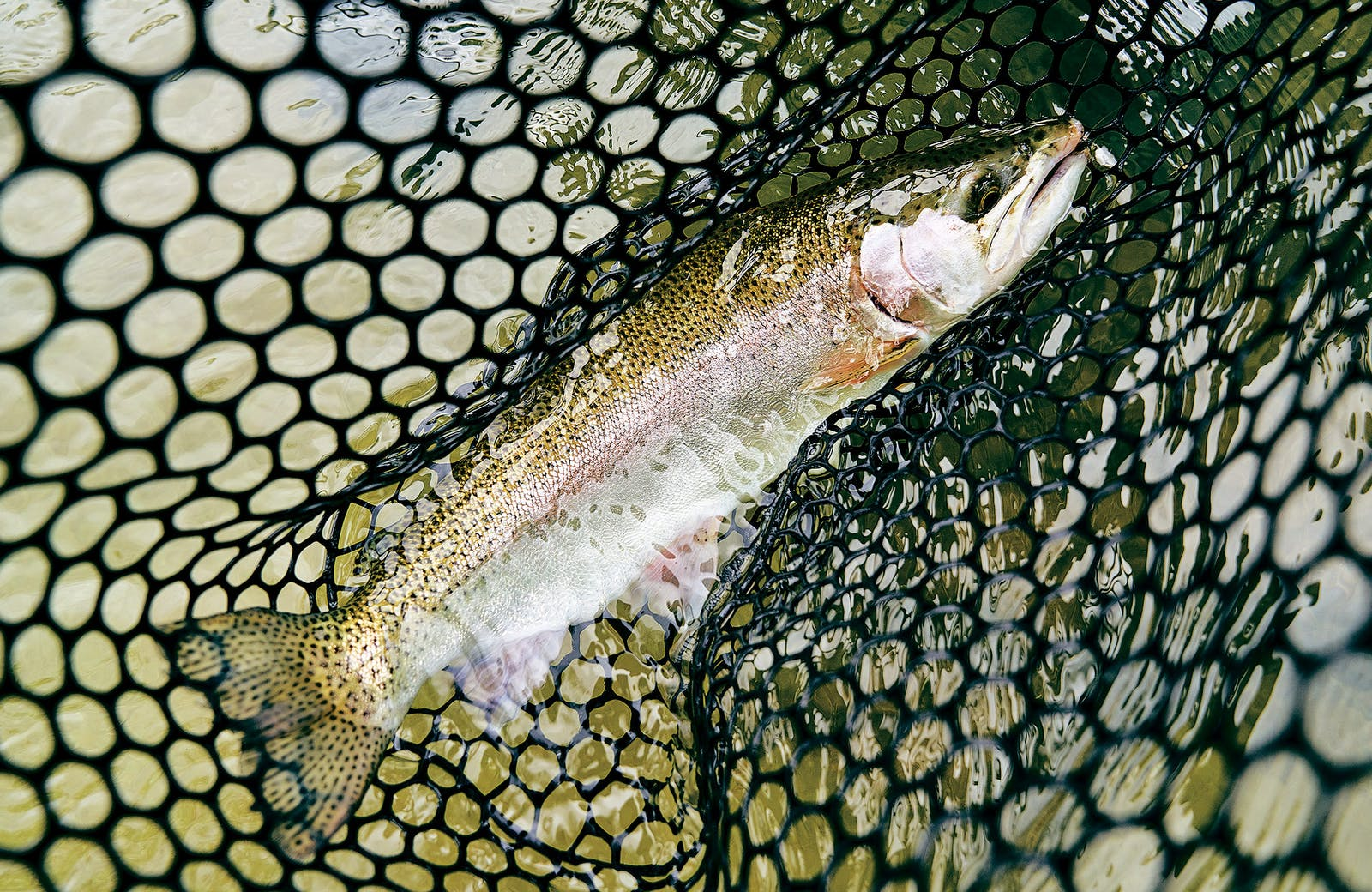 A netted rainbow trout.