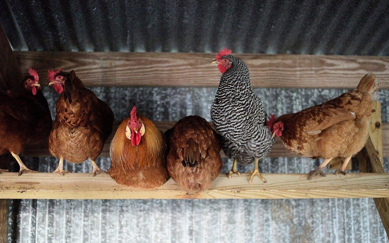 backyard chickens hens roosting