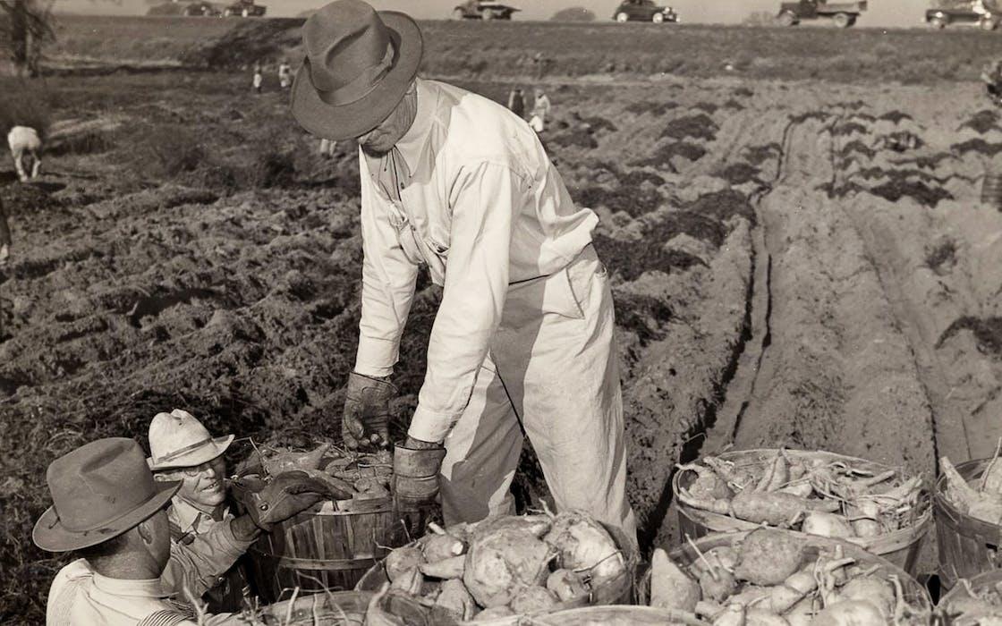 sweet potatoe pickers from citys victory garden