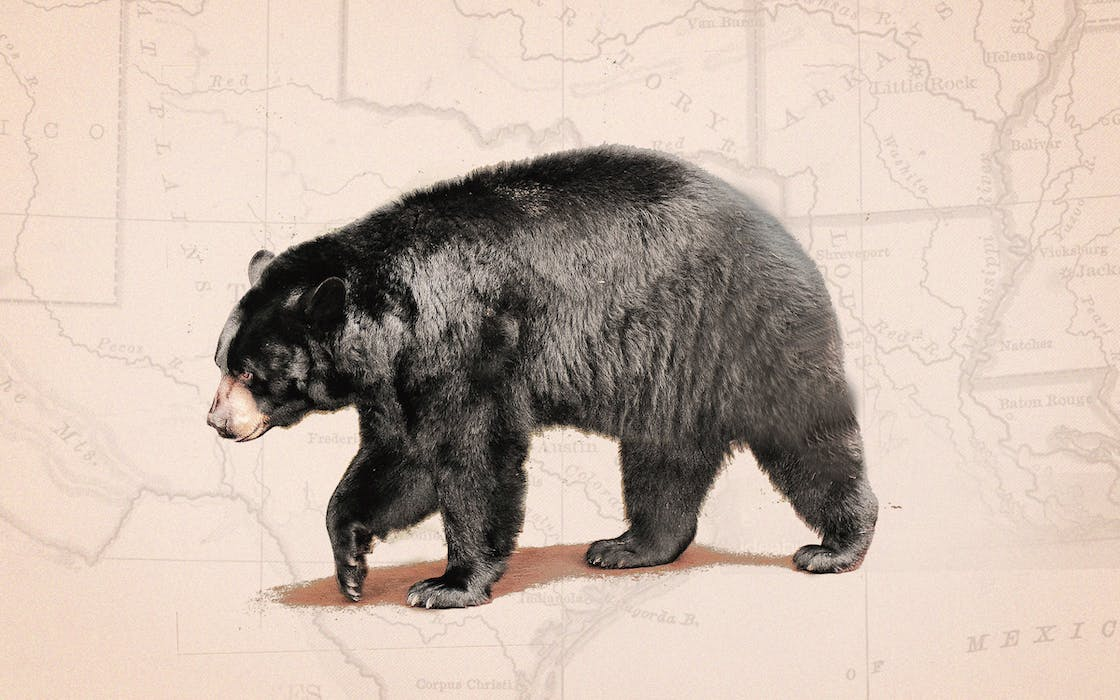 black-bears-returning-to-texas