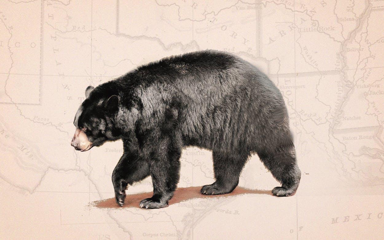 black-bears-returning-to-texas