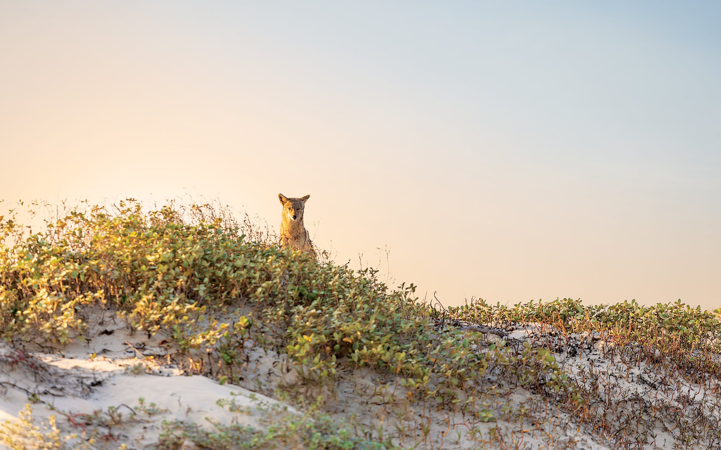 A coyote approaches the campsite around mile marker 15.
