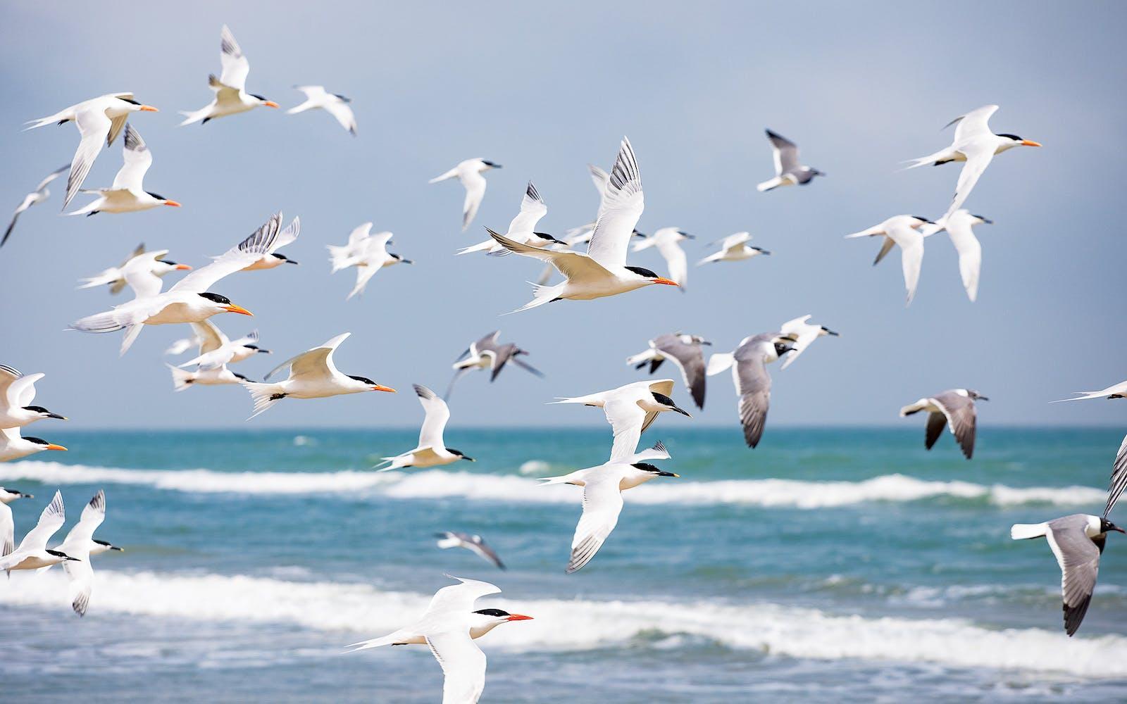Shorebirds over the Gulf around mile marker 42.