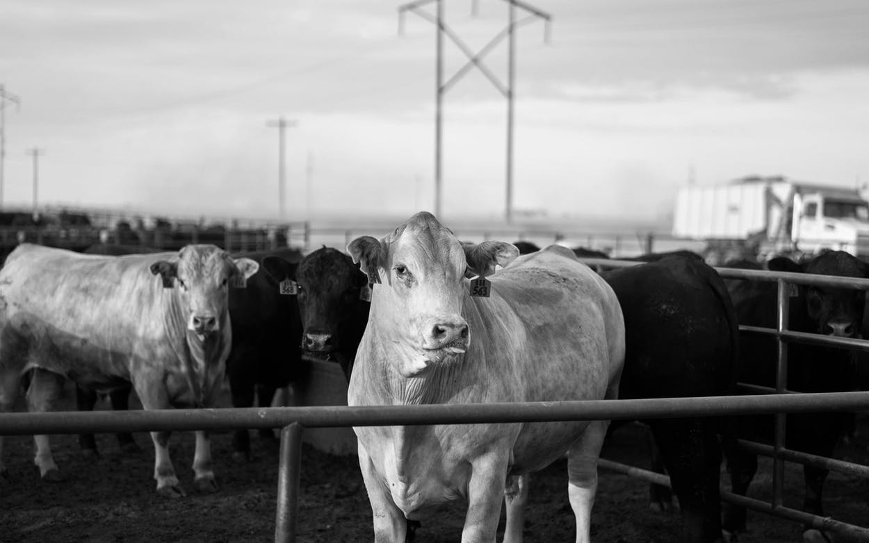 cattle at cactus feeders