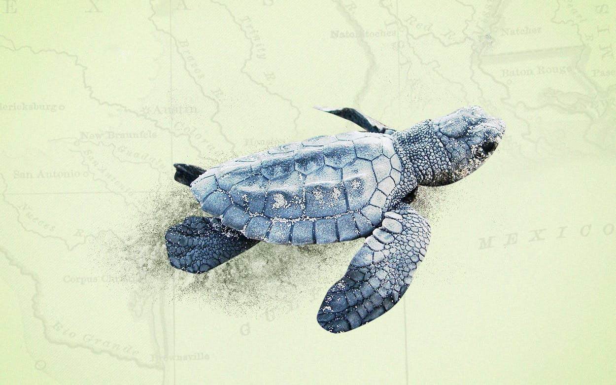 kemp-ridley-sea-turtles-north-padre-island-texas-illo