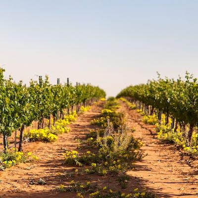 Newsom Vineyards in Plains, Texas.