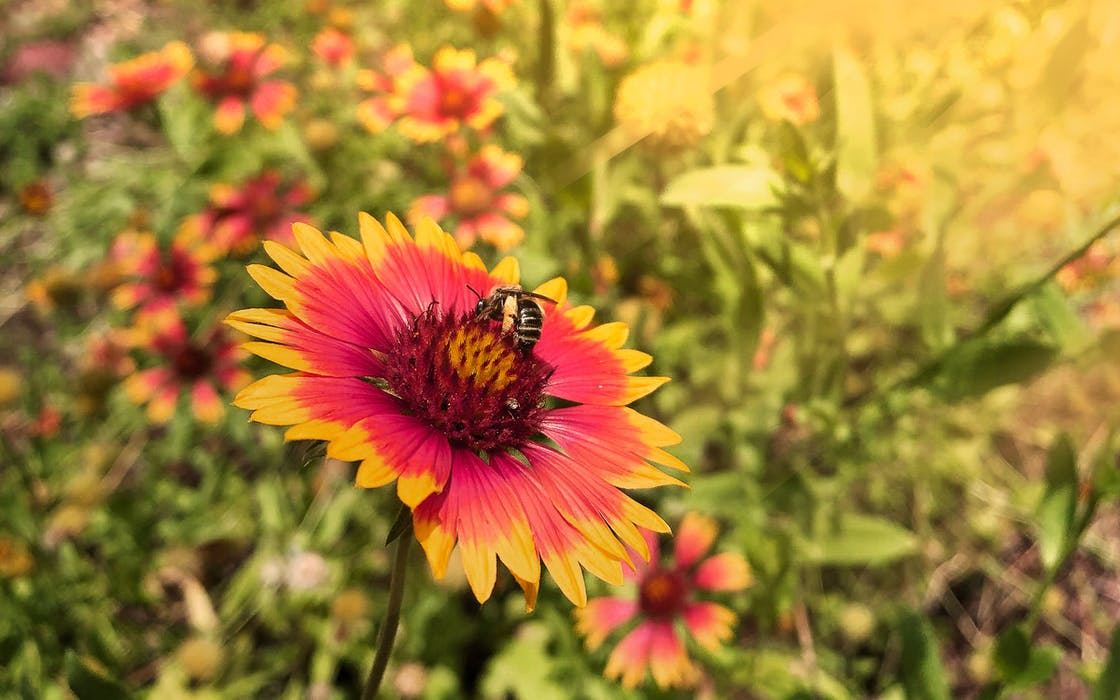 gardening-tips-wildflowers-indian-blanket