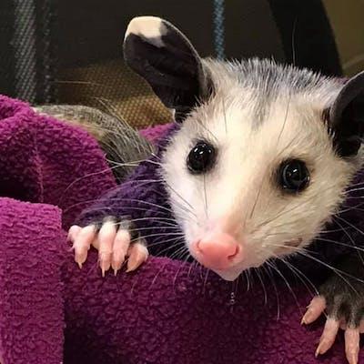 hairless-possum-lubbock-shelter