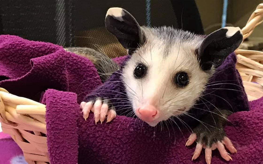 hairless-possum-lubbock-shelter