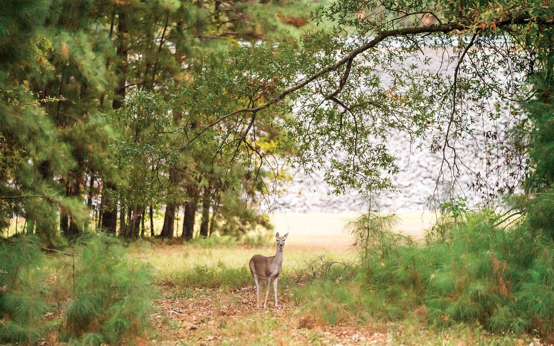 A whitetail doe at Lake o' the Pines, where does and antlerless bucks can be hunted with bows or guns through mid-January.