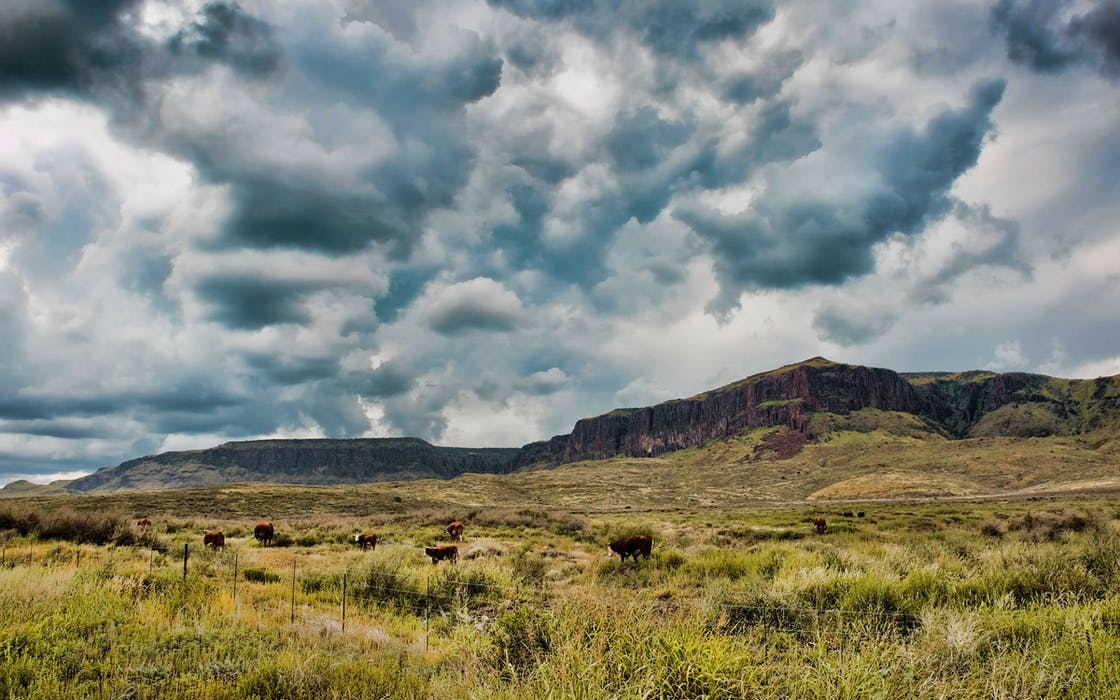 Cattle graze in a field below the Davis Mountains on TX-17 outside of the west Texas town of Balmorhea.