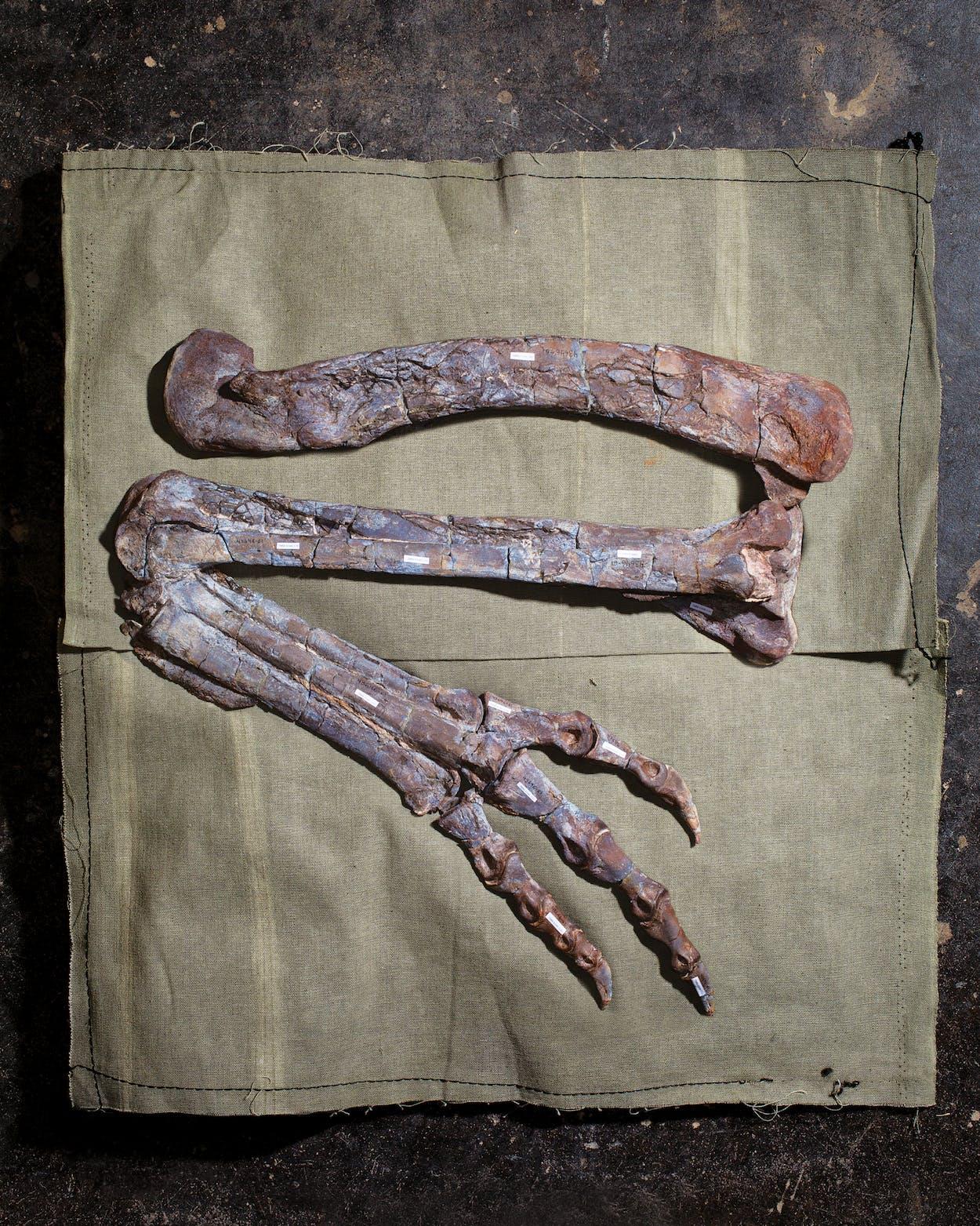 fossilized-dilophosaurus-austin-texas