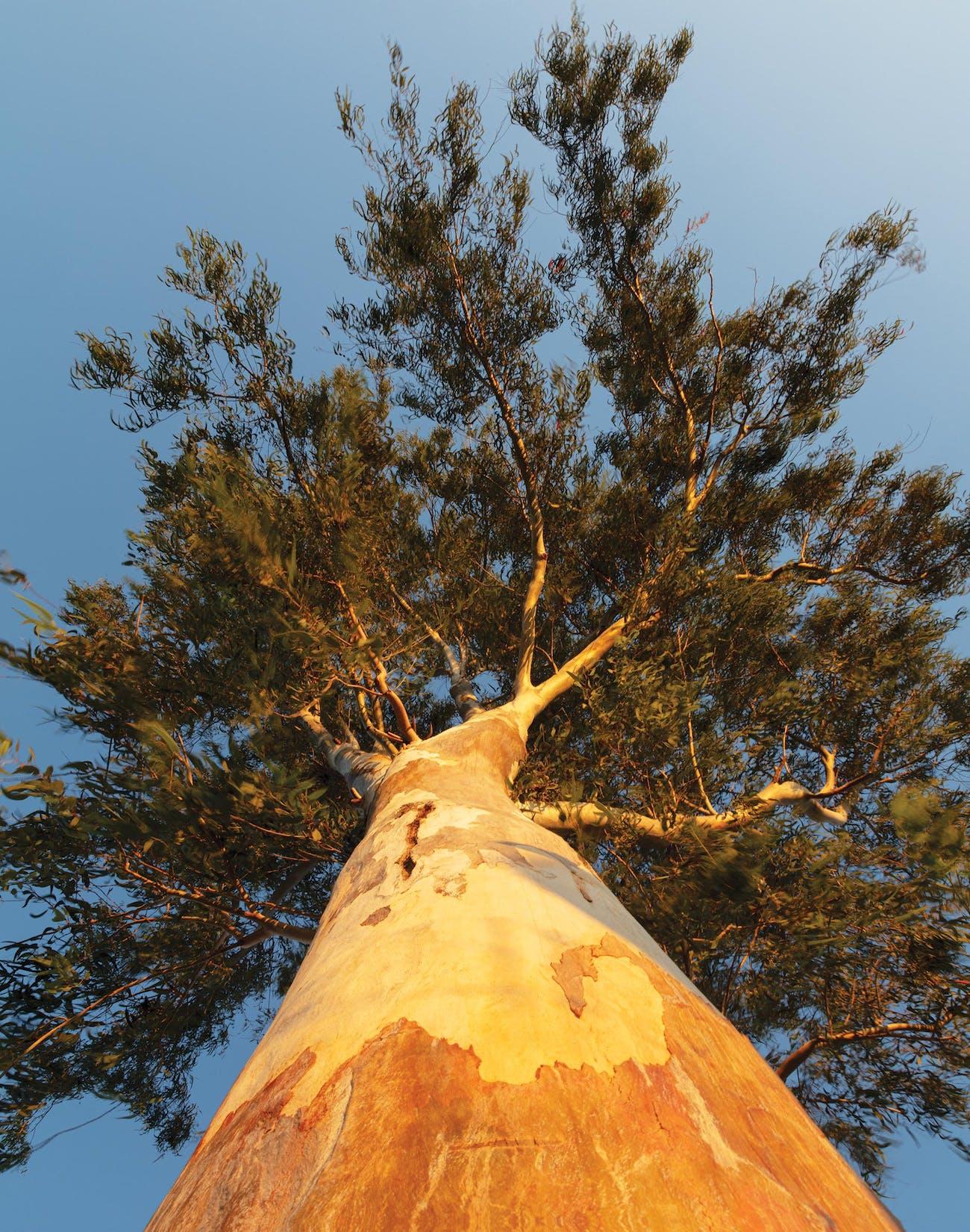miracle-tree