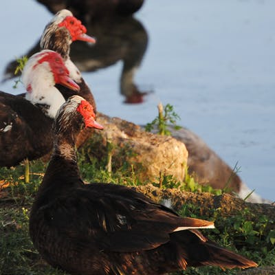 muscovy-ducks-houston