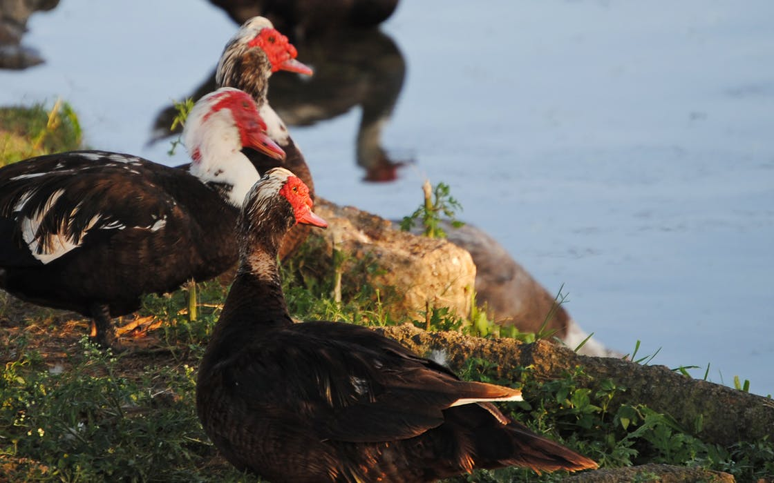 muscovy-ducks-houston