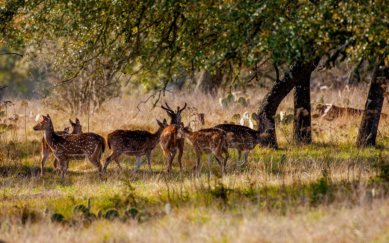 axis deer in the hill country