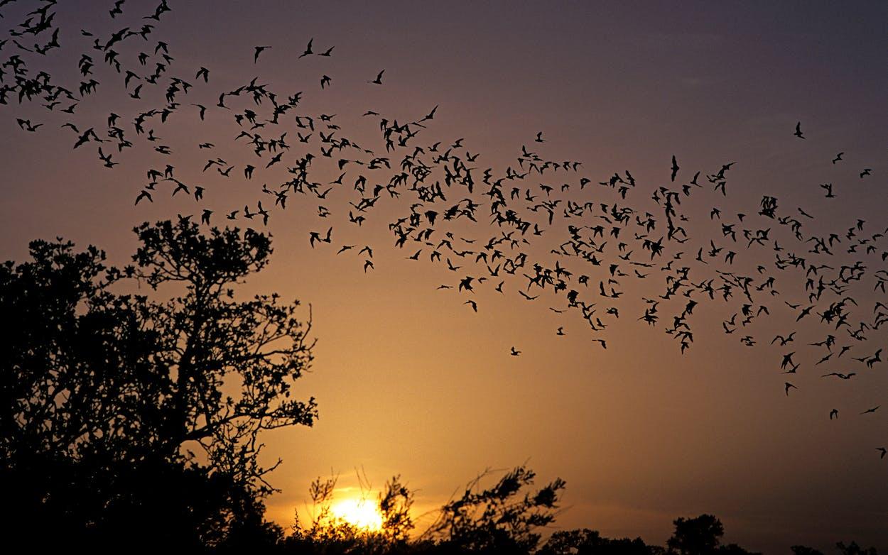 freetail bats in texas
