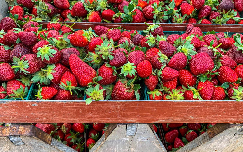 Strawberries are shown piled in carriers before being brought in from the field at K H Farm in Poteet.
