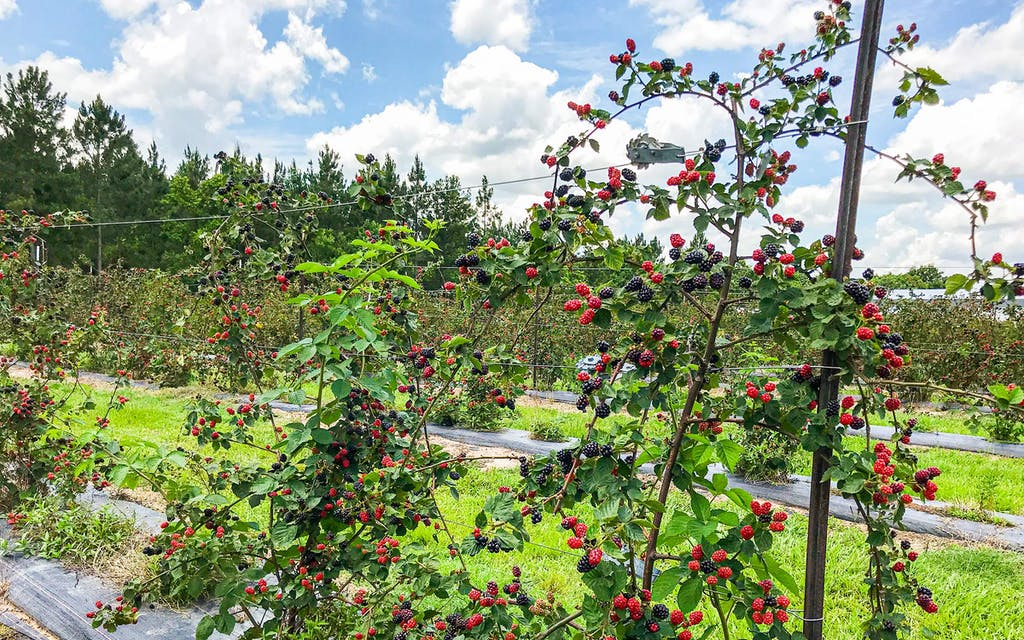 Neal's Berry Farm in Waller features seven thornless blackberry variations for visitors to pick. This firm berry ripens in early June and holds up well under refrigeration post-harvest.